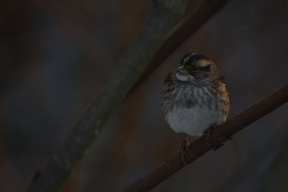 White Throated Sparrow on Branch