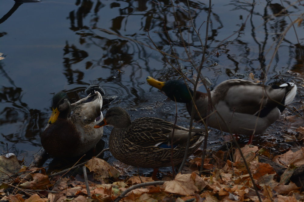 Three Mallards