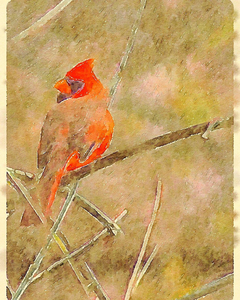 Cardinal at Van Cortlandt Park