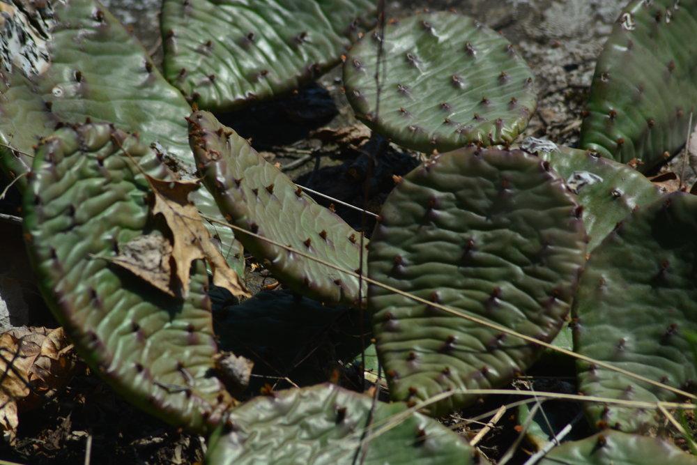 Opuntia humifusa (Cacti Native to the Bronx)