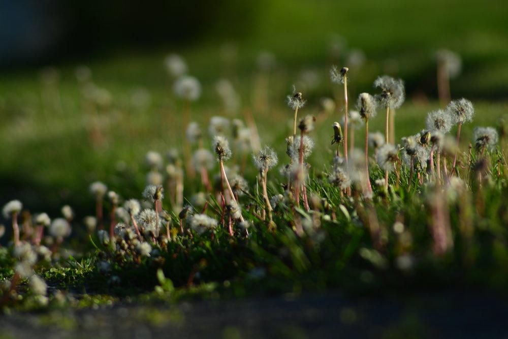 More Dandelions....