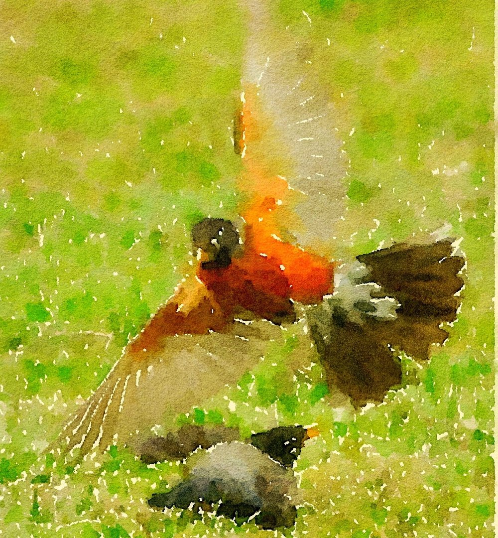 Spring is in the Air for these Robins