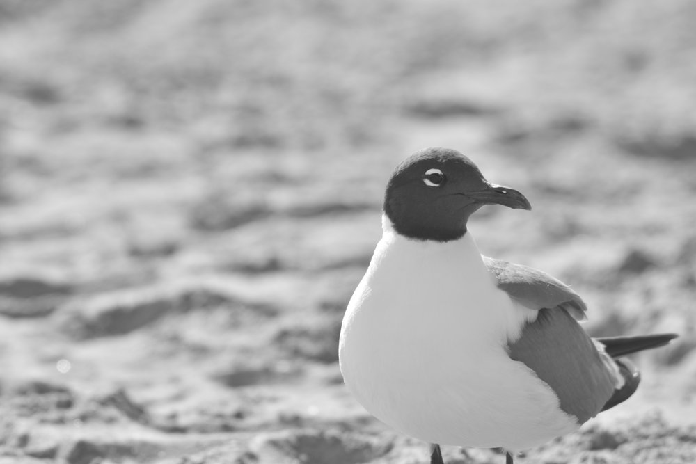 Black & White Tern