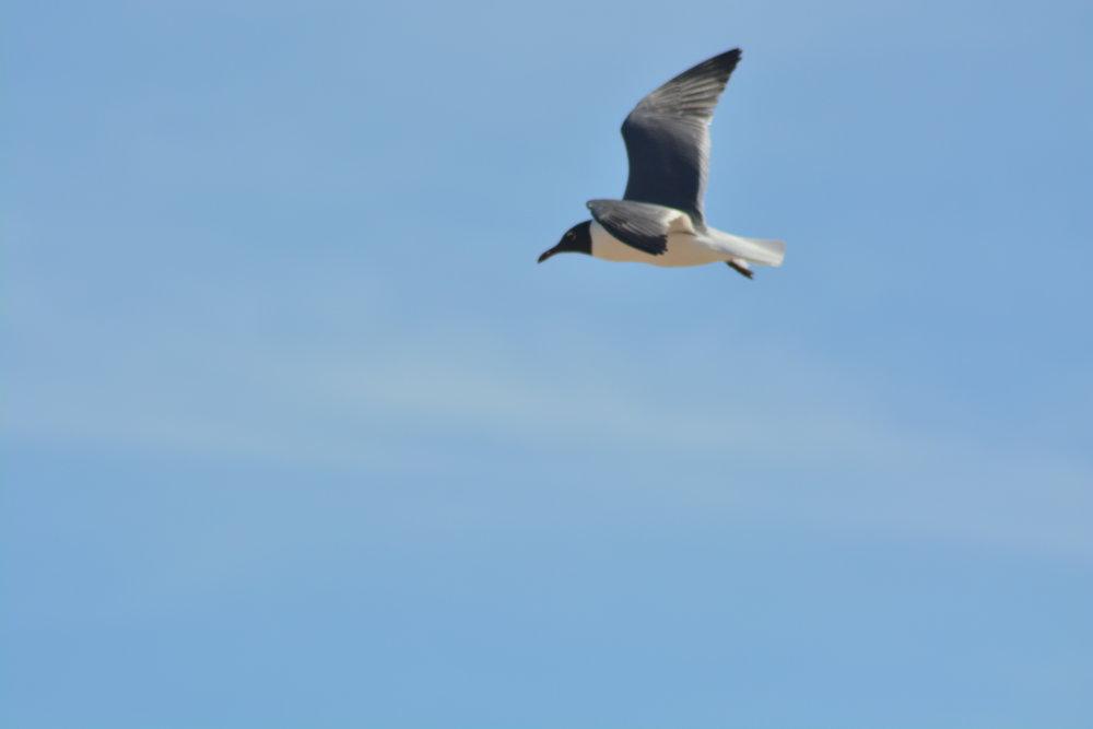 Tern at Flight