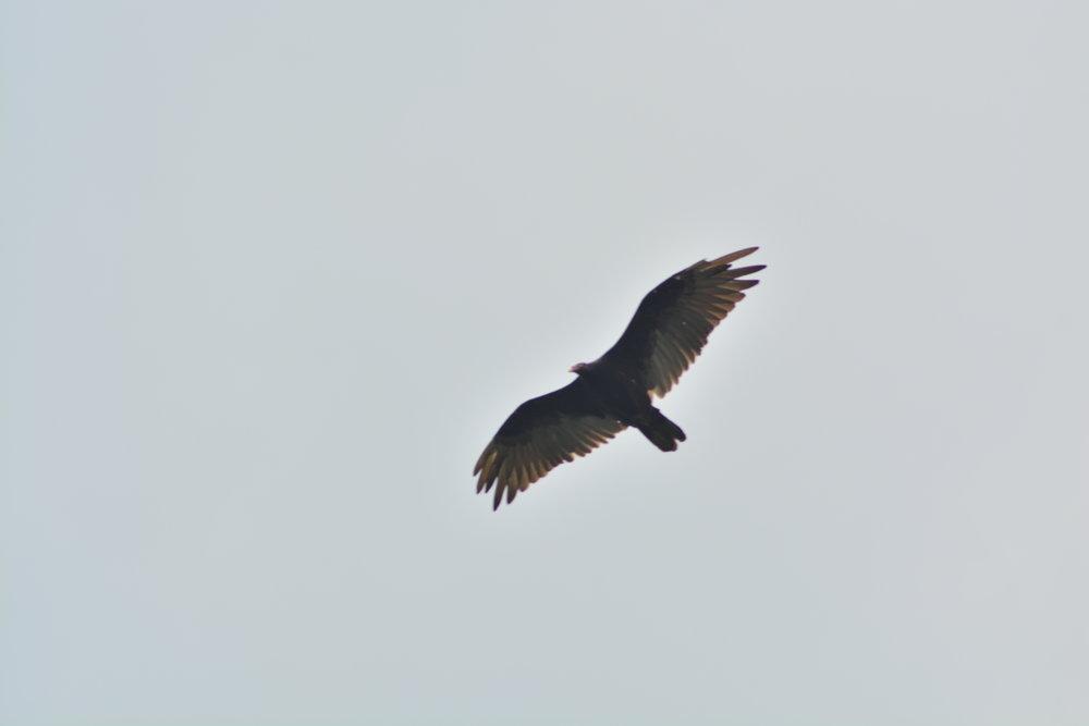 Black Vulture Overhead