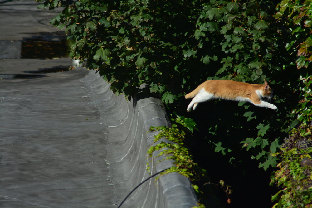 Cat Mid Leap Between Buildings