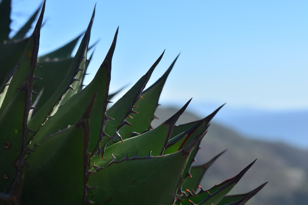 Perry's Agave Close Up
