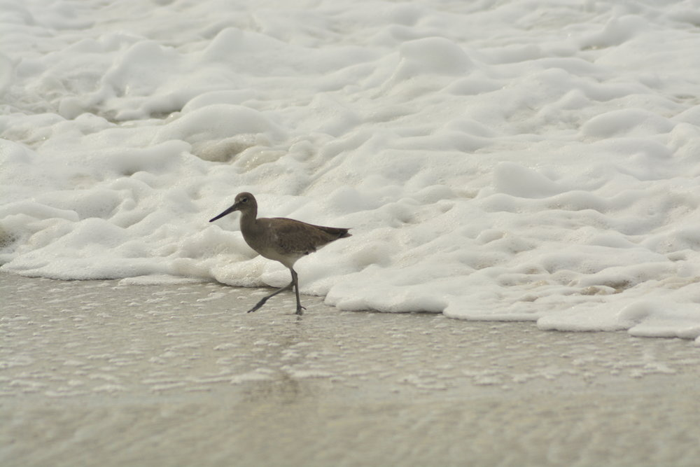 Willet in the Foam