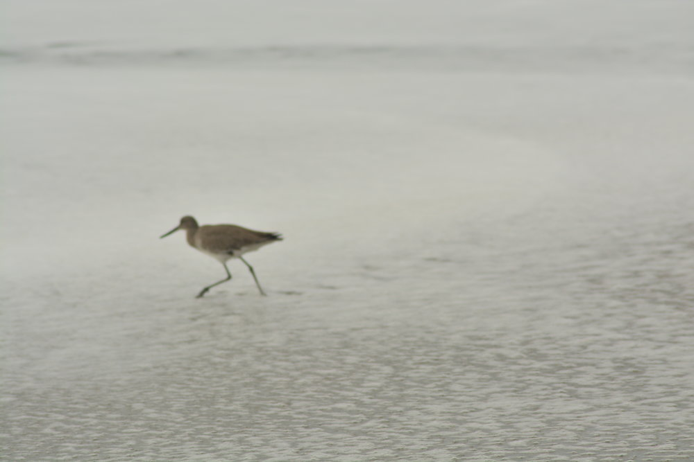 Blurry Willet in the Foam