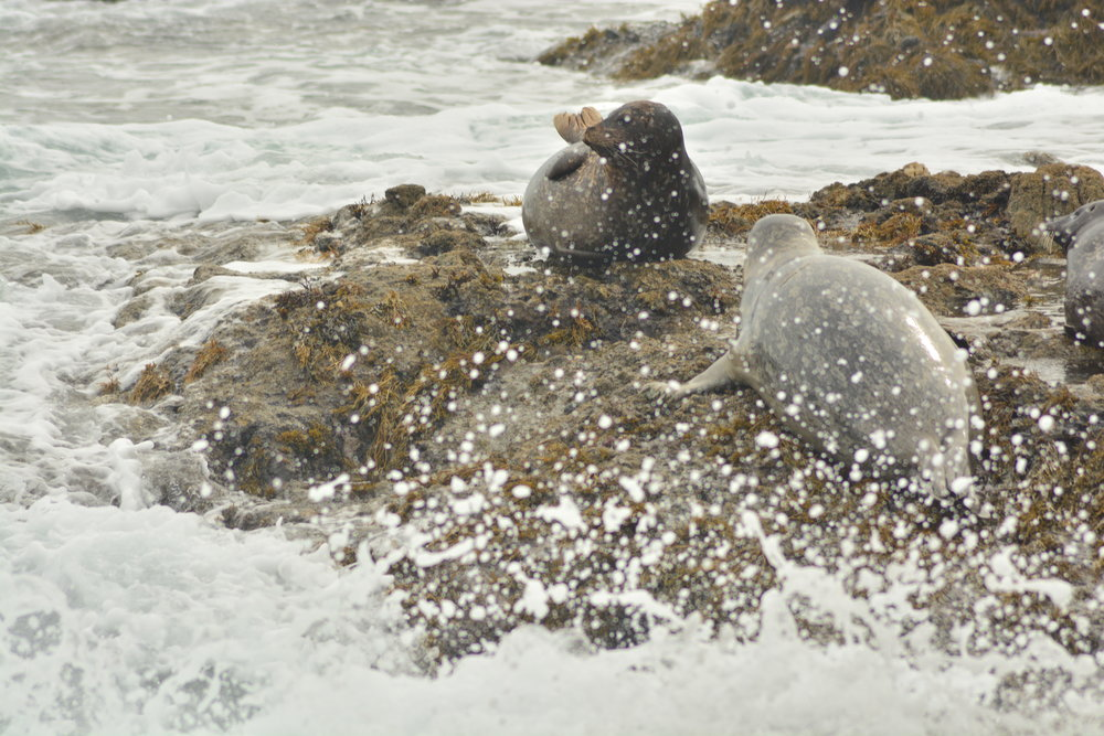 Sea Lions in the Spray