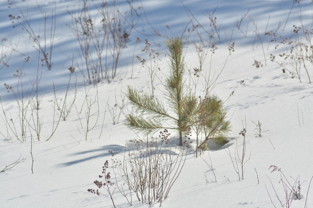 Young Coniferous