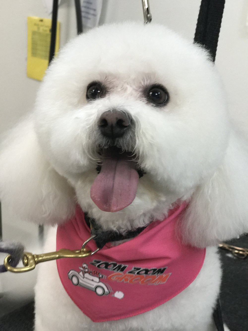 Grooming A Bichon