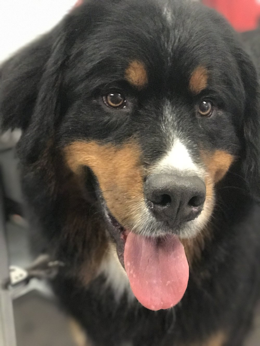 Grooming a Bernese Mountain Dog