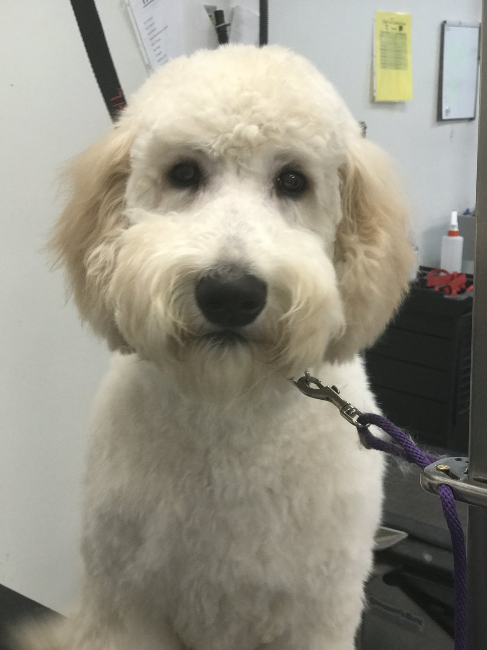 Grooming a Golden Doodle