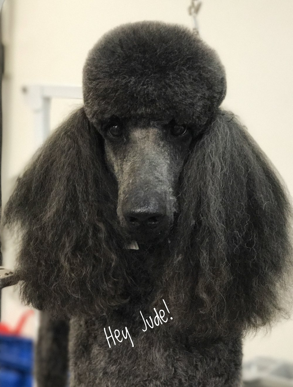Grooming a Standard Poodle