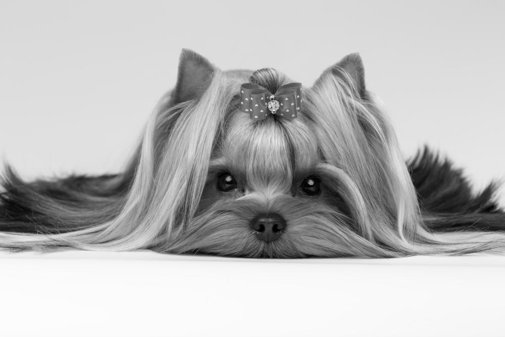 royaldogblackandwhite.png