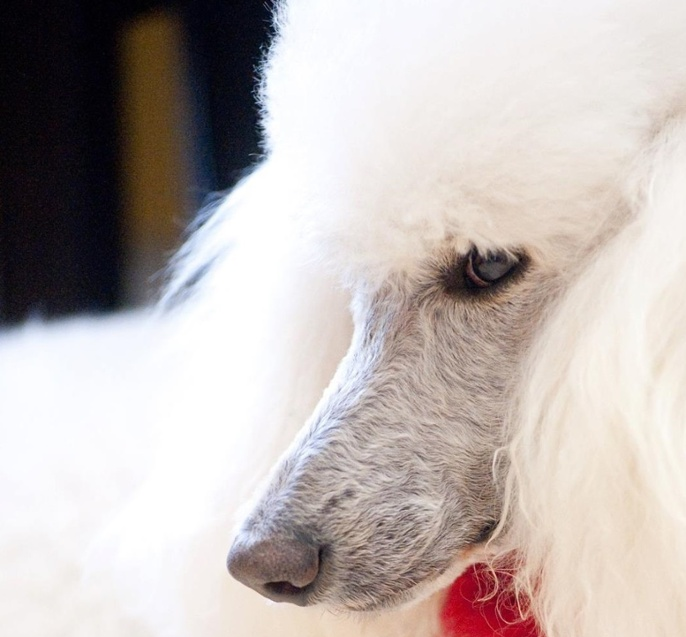 How A Single Poodle Named Gracie Inspired A Successful Dog