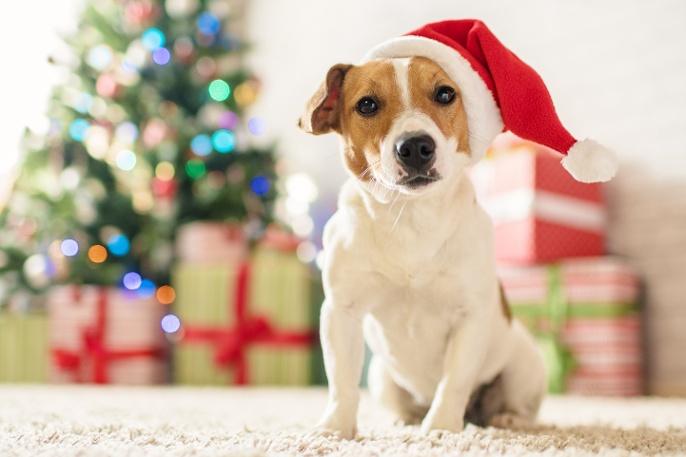 bigstock-Merry-Christmas-Dog-Jack-Russ-214406935.jpg