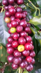 The dark red ones are ripe and the green ones are not.