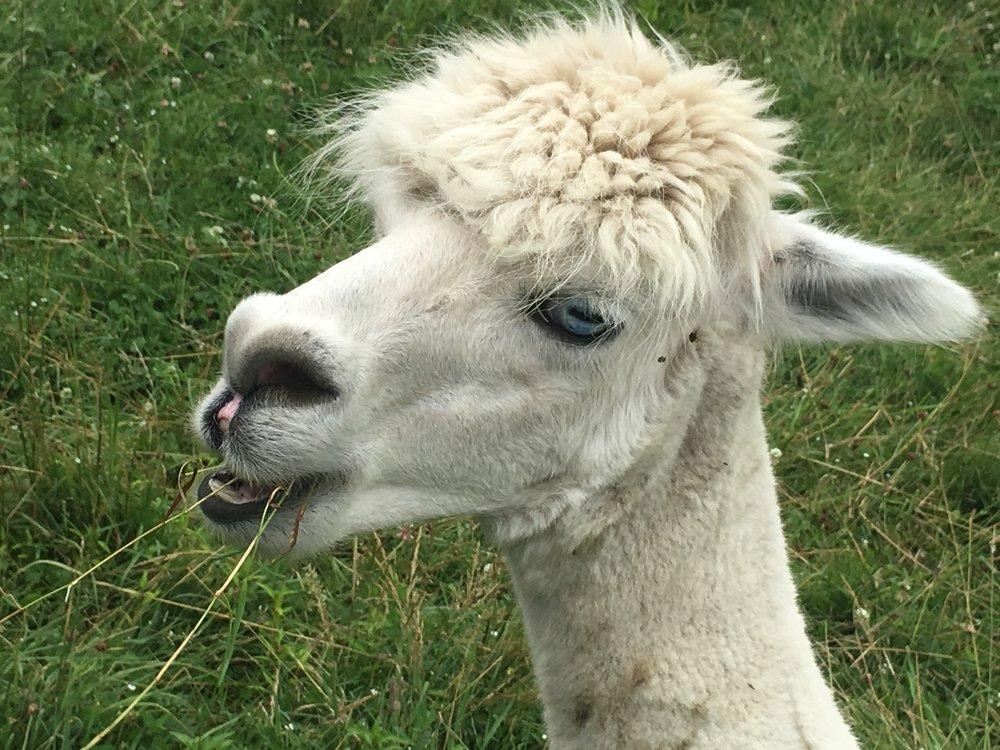 Delila the alpaca