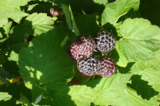 Black Raspberries (very seedy)