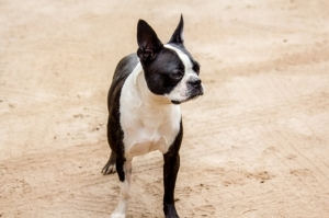 Yota the Boston Terrier - Adventuring of a Small Town Girl