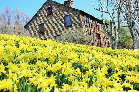 daffodil 3.jpg