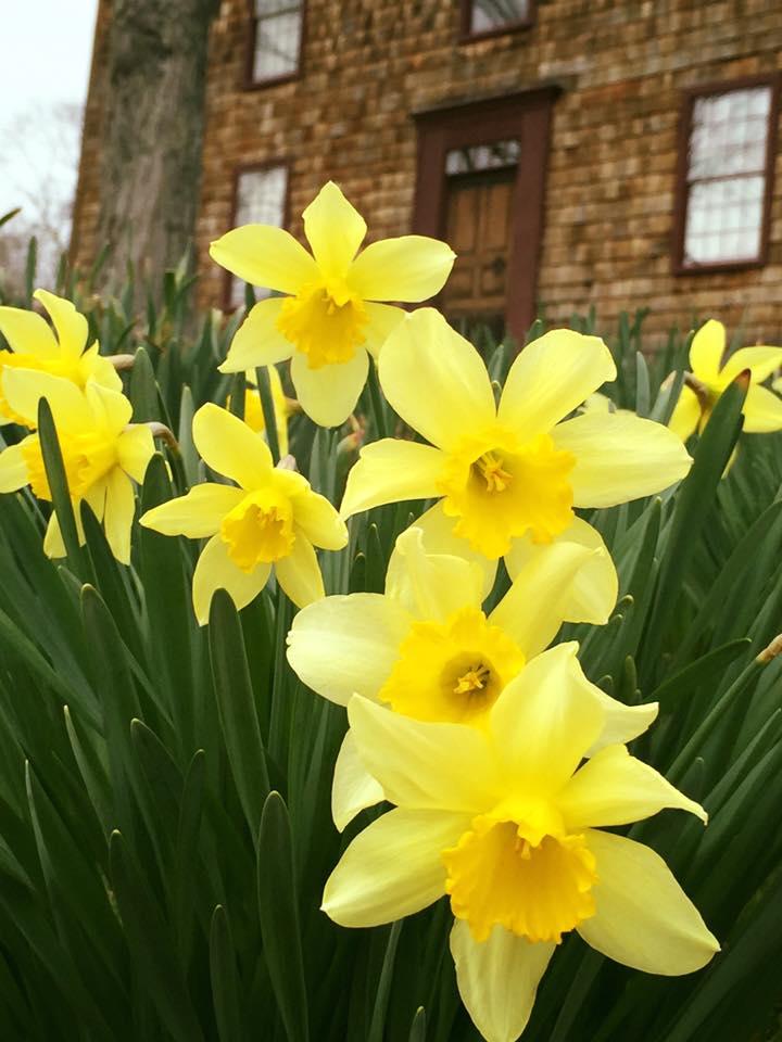 daffodil 13.jpg