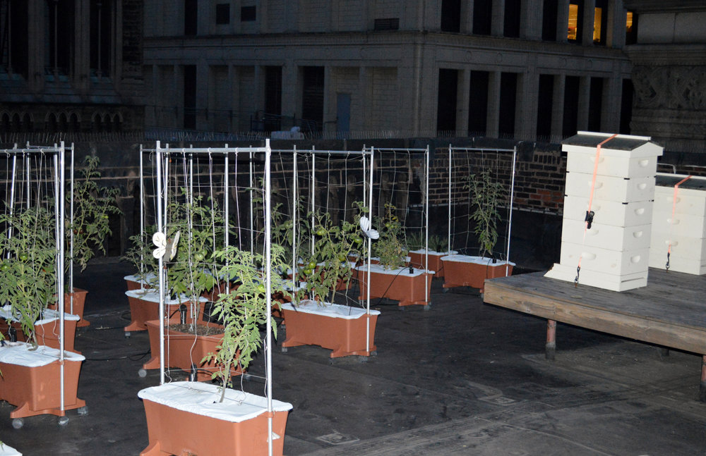5 The rooftop garden and apiary at the Duquesne Club. Pictured are heirloom tomatoes and some of the beehives.JPG