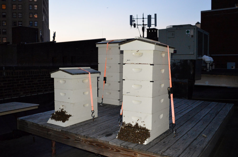 6 The apiary on the rooftop of the Duquesne Club. Some of the bees are out of the hives enjoying the cool evening air.JPG