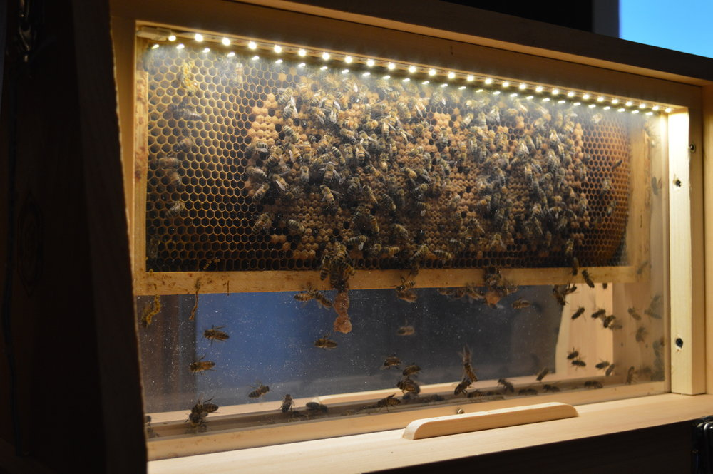 7 One frame of bees from the apiaries. This is a brood frame where baby bees hatch and develop.JPG