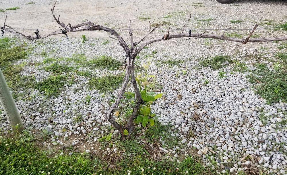suffering vine.jpg