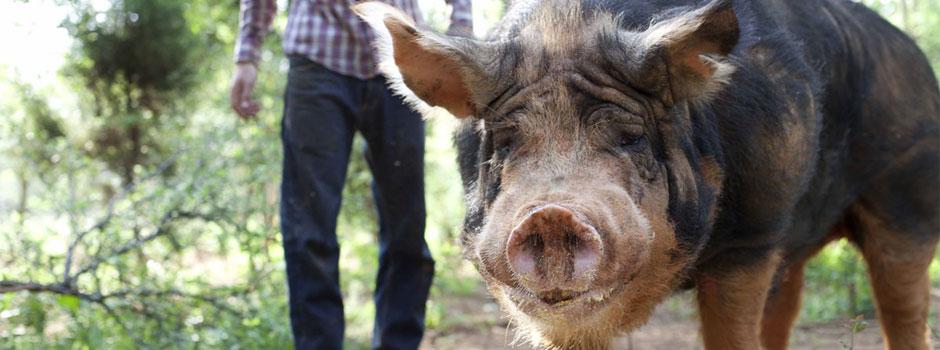 hey piggy -
