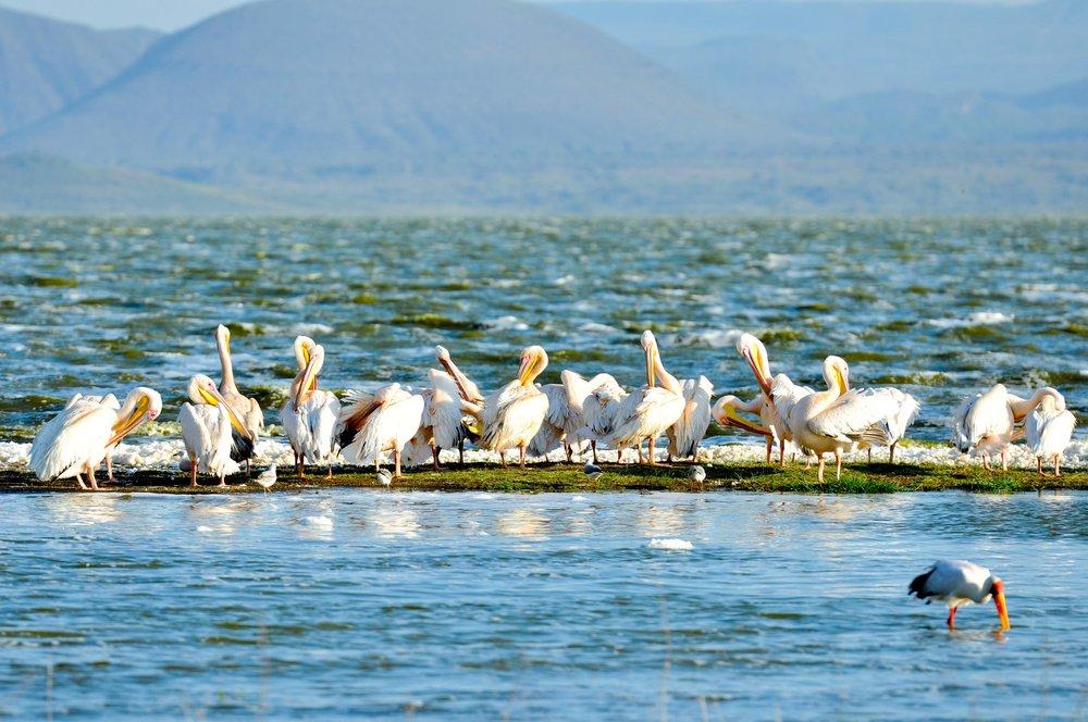 White Pelicans at Lake Elmenteita.jpg