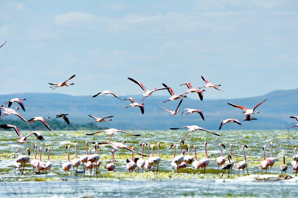 Flamingos at Lake Elmenteita.jpg