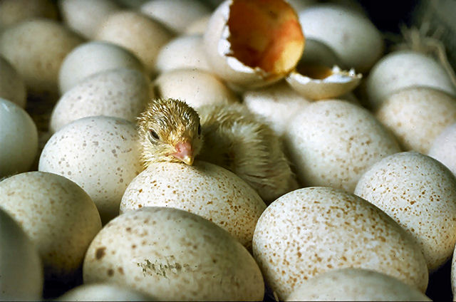 Chicks_hatching_USDA95c1973.jpg