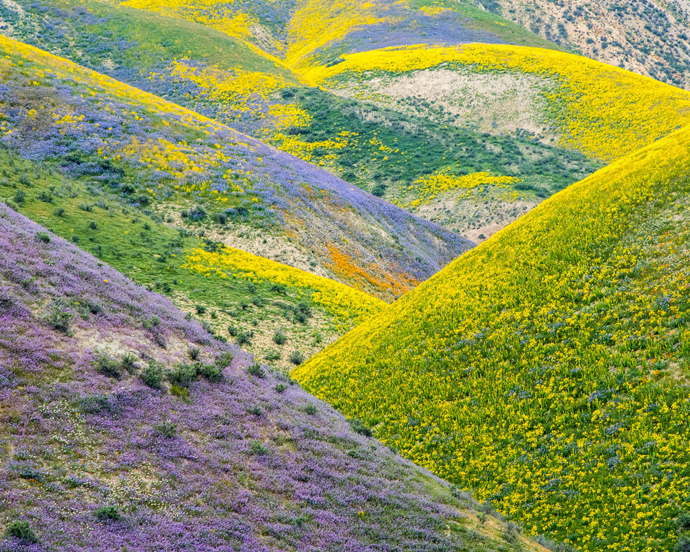 Super Bloom of 2017, California Desert