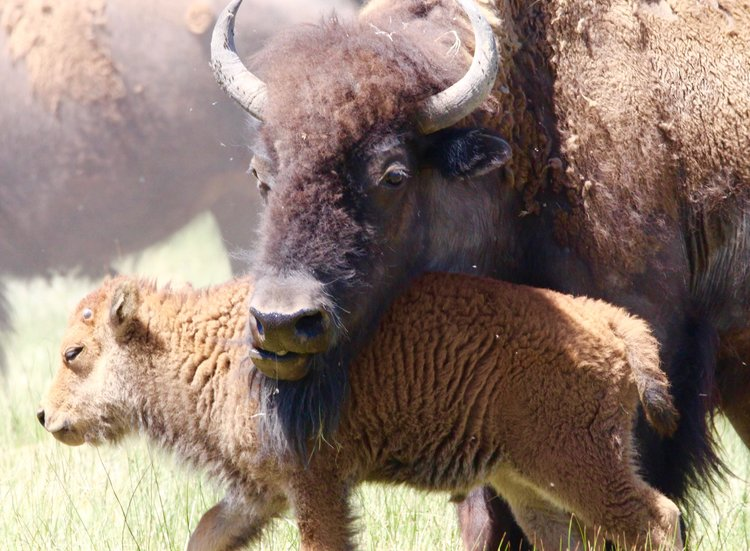 bison baby and momma medano ranch.jpg