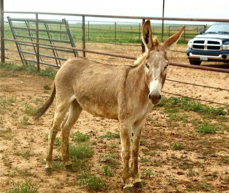 Sugar the Burro Before.jpg