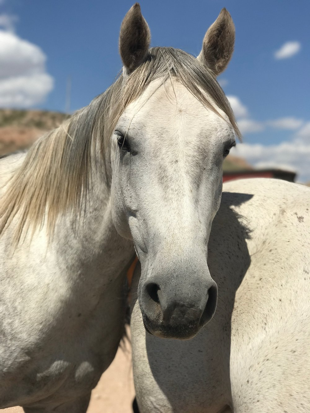- Age: 7Breed: QuarterhorseColor: GreyGender: MareHeight: 15 HandsTemperament: 3Ground Manners: 3Farrier/Vet: 2Rider Experience: AdvancedRiding Limitations: NoneFEE: $TBD (to be determined)