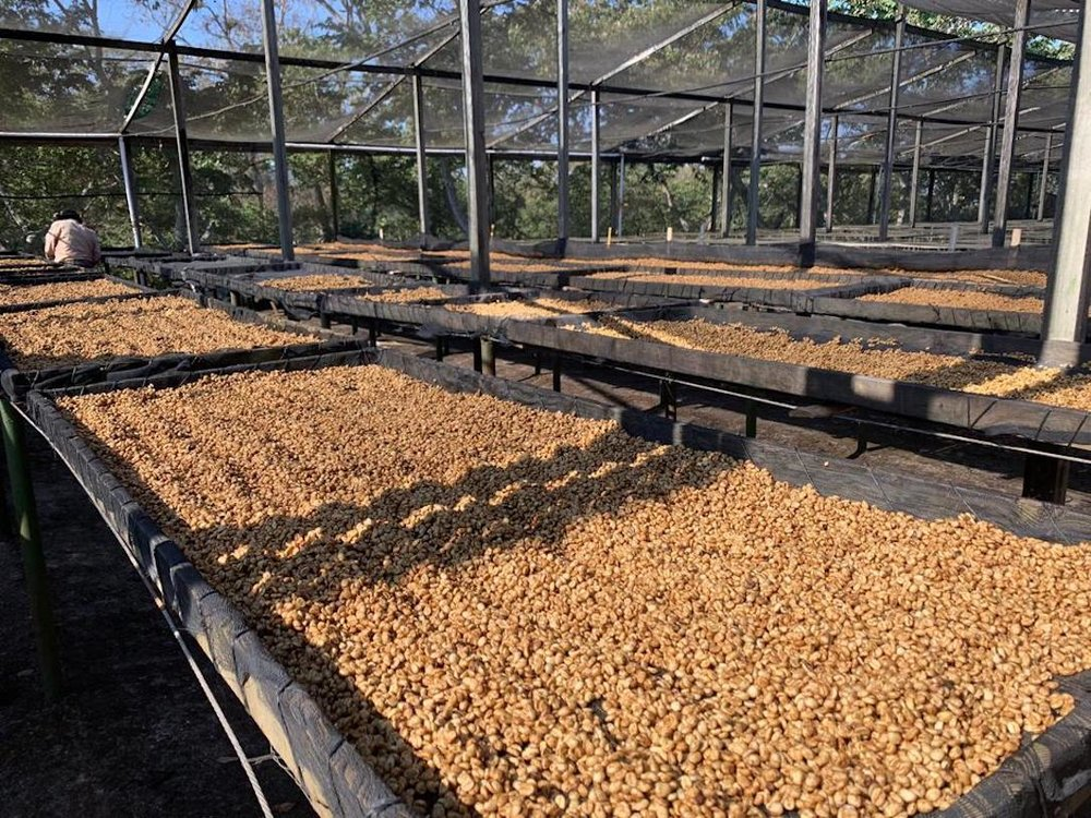 Drying beds with Honey Processed coffee at Finca El Hato in Santa Rosa
