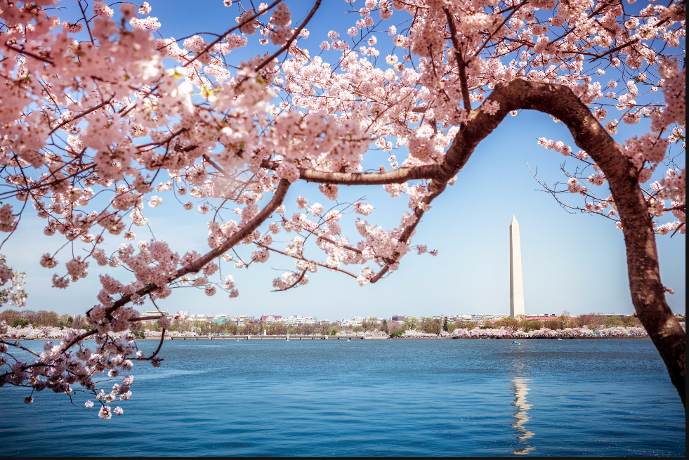 Wash Monument and Cherry Blossoms.PNG