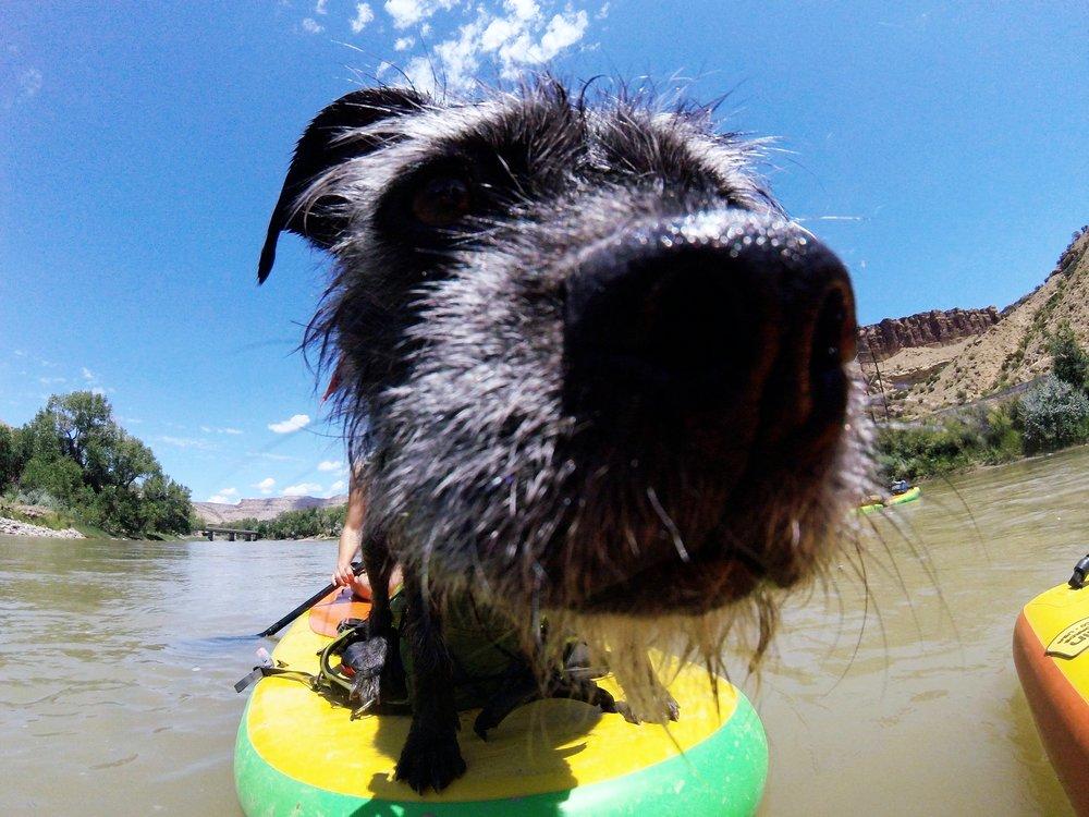 SUP dog on the Colorado River in Grad Junction, Colorado.