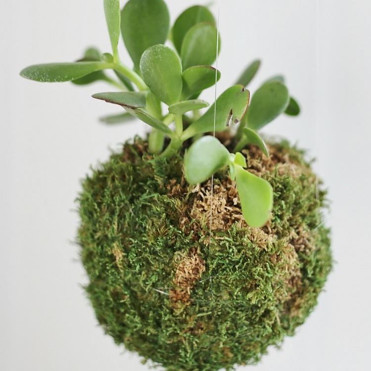 DIY-Kokedama-Japanese-Moss-Ball-Planters-Jade-plant.jpg