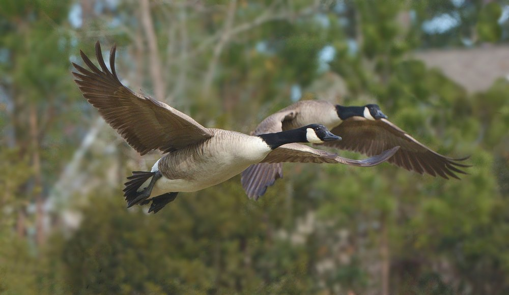 Canada geese, they always look so determined  ///   photo: Tom Haines