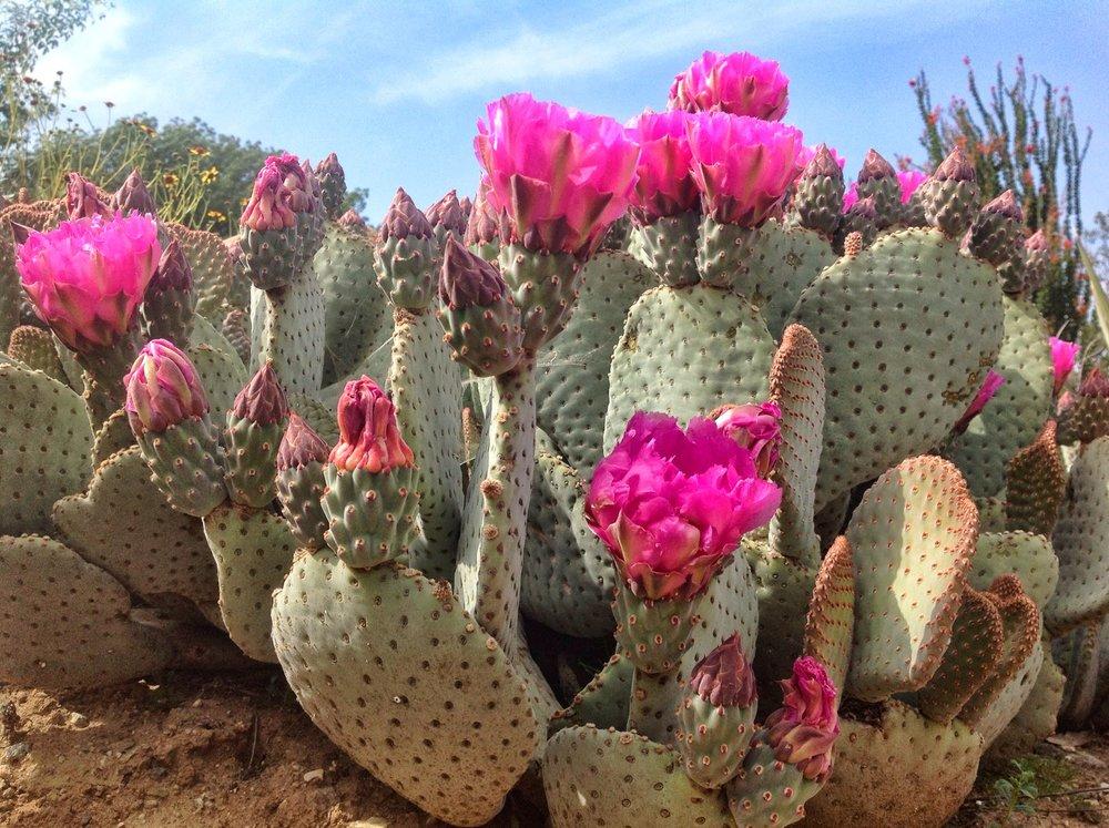 Beavertail Prickly Pear Cactus.jpg