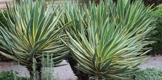 Yucca Gloriosa.jpg