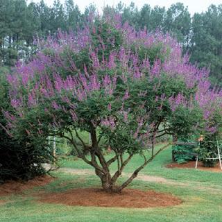 Chaste Monk Pepper Tree.jpg