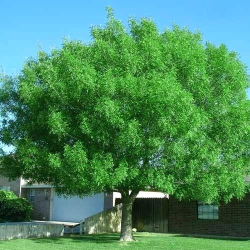 Fan-Tex Ash Tree.jpg