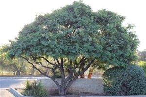 Lysiloma-thornberi-Fern-Of-The-Desert-76-1360733711.jpg